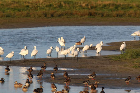 Eurasian or common spoonbill in nature, Island Texel, Holland Stockfoto - 133516028