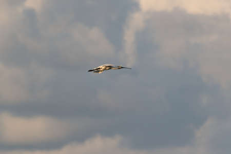 Eurasian or common spoonbill in nature, Island Texel, Holland Stockfoto - 132791159