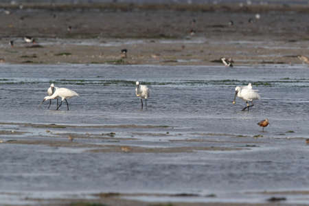 Eurasian or common spoonbill in nature, Island Texel, Holland Stockfoto - 132790826
