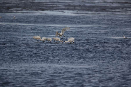 Eurasian or common spoonbill in nature, Island Texel, Holland Stockfoto - 132791350