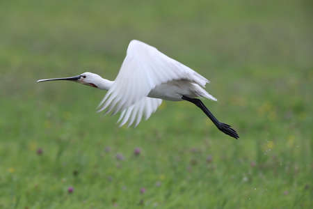 Eurasian or common spoonbill in nature, Island Texel, Holland Stockfoto - 132791183