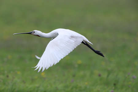Eurasian or common spoonbill in nature, Island Texel, Holland Stockfoto - 132791498