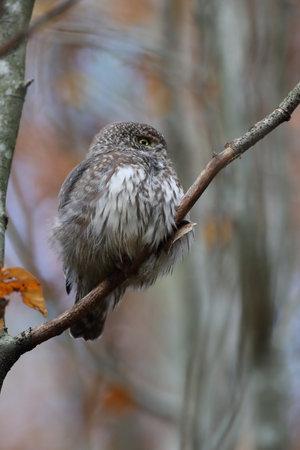 Eurasian pygmy owl-Swabian Jura Germany Stockfoto - 133516031