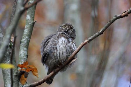 Eurasian pygmy owl-Swabian Jura Germany Stockfoto - 133516037