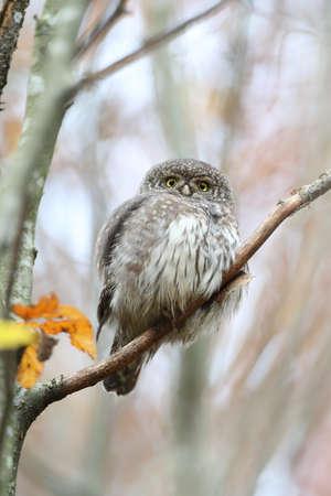 Eurasian pygmy owl-Swabian Jura Germany Stockfoto - 133516038