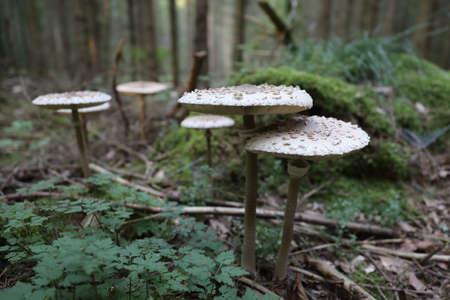 Macrolepiota procera, the parasol mushroom, ibasidiomycete fungus,Germany Stockfoto - 133516035
