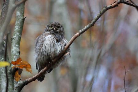 Eurasian pygmy owl-Swabian Jura Germany Stockfoto