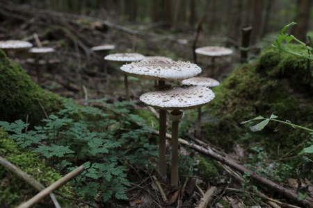 Macrolepiota procera, the parasol mushroom, ibasidiomycete fungus,Germany Stockfoto - 133516066