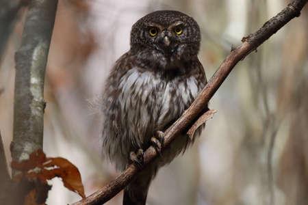 Eurasian pygmy owl-Swabian Jura Germany Stockfoto - 133516070