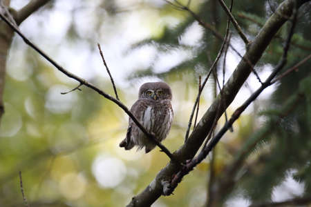 Eurasian pygmy owl-Swabian Jura Germany Stockfoto - 133516071