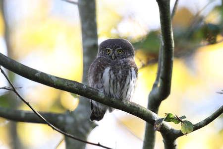 Eurasian pygmy owl-Swabian Jura Germany Banque d'images