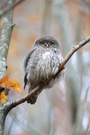 Eurasian pygmy owl-Swabian Jura Germany Stockfoto - 133516076