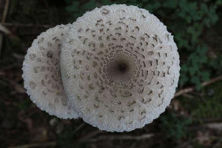 Macrolepiota procera, the parasol mushroom, ibasidiomycete fungus,Germany Stockfoto - 133516079