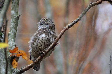 Eurasian pygmy owl-Swabian Jura Germany Stockfoto - 133516083