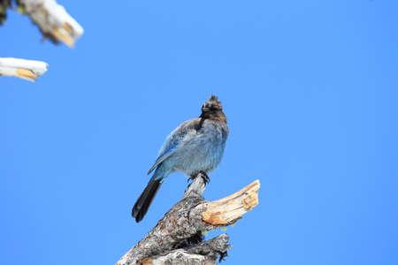 Steller's jay (Cyanocitta stelleri) Yellowstone NP USA