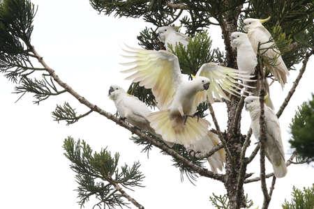 Sulphur-Crested Cockatoo (Cacatua galerita), Australia Reklamní fotografie