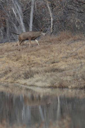 Deers,  Bosque del Apache National Wildlife Refuge 版權商用圖片