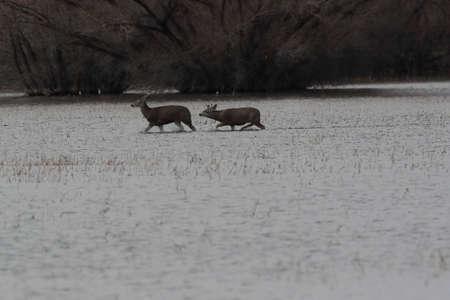 Deers, Bosque del Apache National Wildlife Refuge