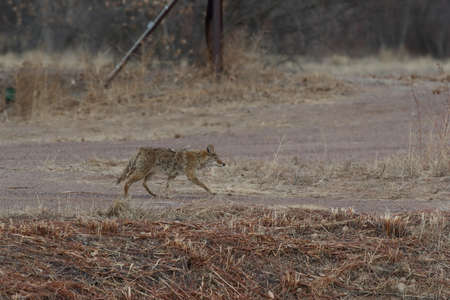 Coyote in Bosque del Apache national wildlife refuge in New Mexico Stock Photo