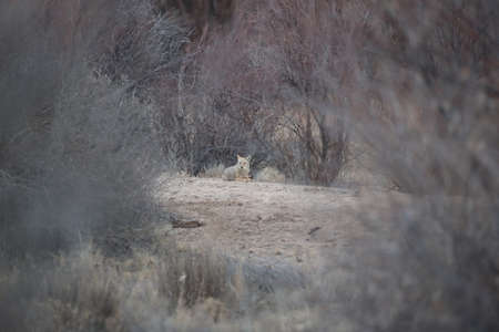 Coyote in Bosque del Apache national wildlife refuge in New Mexico