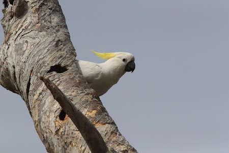 Sulphur-Crested Cockatoo (Cacatua galerita),  Australia