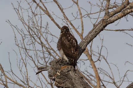 Red-tailed Hawk (Buteo jamaicensis) - Bosque del Apache National Wildlife Refuge, New Mexico,USA