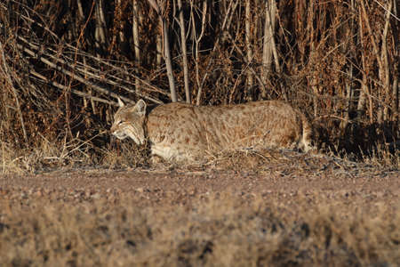 Bobcat (Lynx rufus) Bosque del Apache National Wildlife Refuge