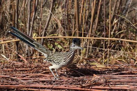 Roadrunner Bosque del Apache wildlife refuge in New Mexico. Stock Photo