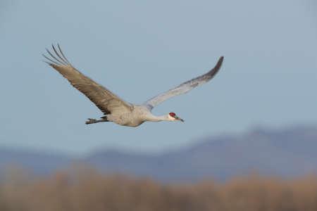 Sandhill Crane Bosque del Apache Wildlife Reserve New Mexico in Winter , USA Foto de archivo