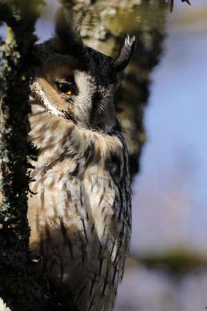 long-eared owl (Asio otus) sitting in tree, Germany