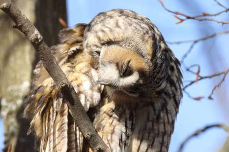 long-eared owl (Asio otus) sitting in tree, Germany Zdjęcie Seryjne