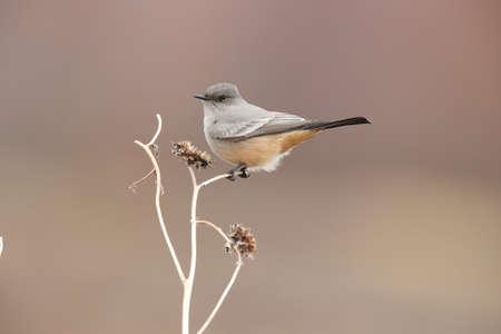 Says phoebe (Sayornis saya) New Mexico USA