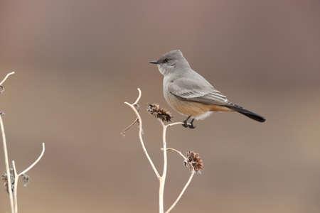 Say's phoebe (Sayornis saya) New Mexico USA