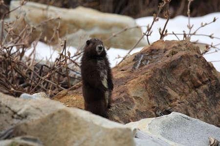 Vancouver Island Marmot, Marmota vancouverensis, Mount Washington, Vancouver Island, BC Foto de archivo