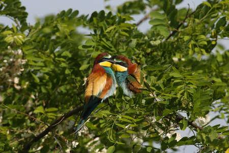 European bee-eater (Merops apiaster) Germany (East) Stock Photo