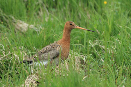 bar-tailed godwit (Limosa lapponica) in the natural habitat , Iceland