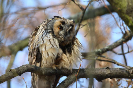 long-eared owl (Asio otus) sit on the tree Germany