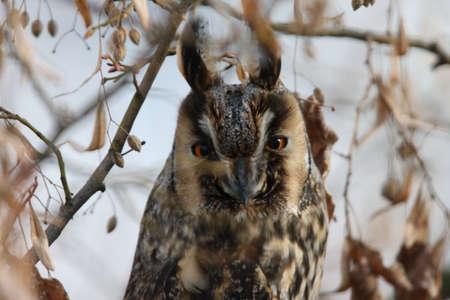 long-eared owl (Asio otus) sit on the tree Germany Zdjęcie Seryjne