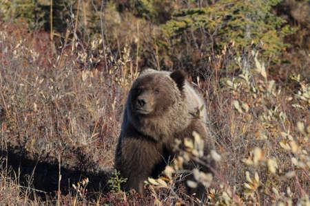 Grizzly Bear Denali National Park Alaska Stockfoto