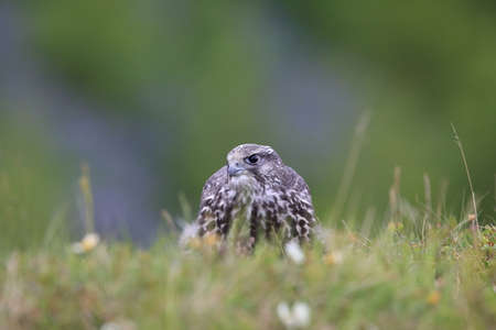 young gyrfalcons on the first explorations around the nest,  Iceland 版權商用圖片