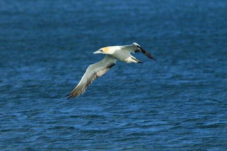 Australasian gannet (Morus serrator) New Zealand