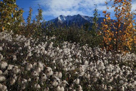 Cotton Grass Kennicott Glacier Alaska