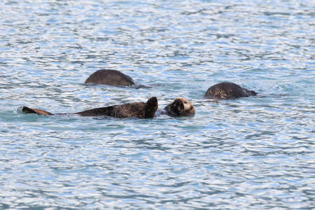 Floating sea otter (asian kalan, Enhydra lutris lutris) Alaska,USA