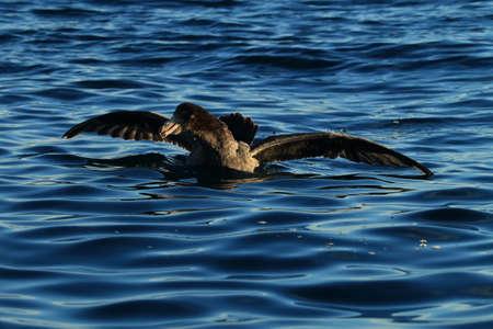 Northern Giant Petrel (Macronectes halli) Stock Photo