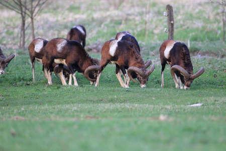 european moufflon ( Ovis orientalis ) on the grassland/wild animal in the nature habitat, Saxony , Germany