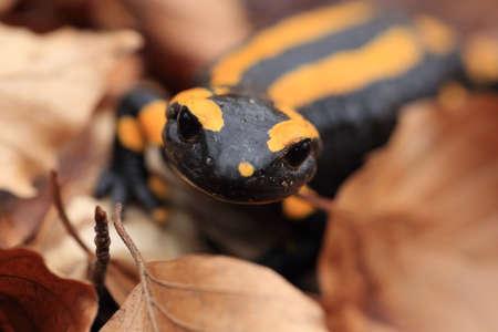 fire salamander (Salamandra salamandra) Stock fotó