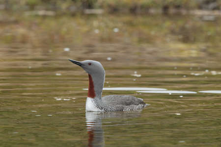 red-throated loon (North America) or red-throated diver (Britain and Ireland Iceland