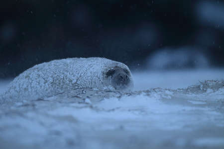 Gray Seal (Halichoerus grypus) pup in winter, snowstorm, Helgoland