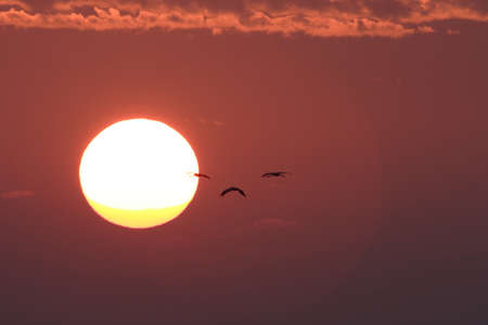 Silhouettes of Cranes (Grus Grus) at Sunset Baltic Sea, Germany