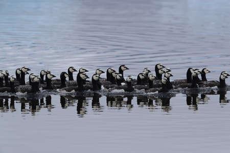 Barnacle geese swimming on Joekulsarlon Glacier Lagoon
